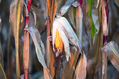 Corn cobe Stock Photography