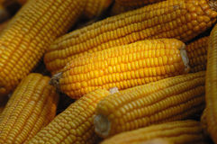 Corn cobs Stock Photo