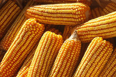 Corn cobs Royalty Free Stock Photo