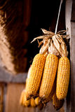 Corn cobs Royalty Free Stock Image
