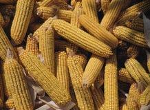 Corn cobs Stock Photo