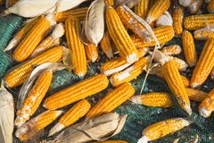 Corn cobs, agricultural background Royalty Free Stock Images
