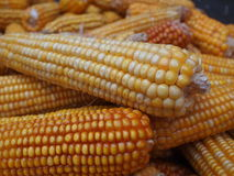 Corn-cobs in autumn Royalty Free Stock Images