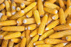 Corn cobs Royalty Free Stock Photography