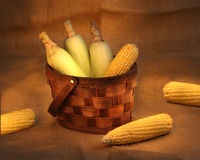 Corn cobs in a basket. Still life photo with corn cobs in a  basket Royalty Free Stock Photo