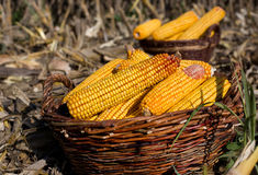 Corn cobs in basket in field Royalty Free Stock Image