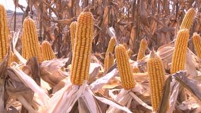 Corn cobs closeup stock footage