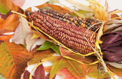 Corn Cobs on Colorful Fall Leaves Background. Corn Cobs on Colorful Fall Leaves Symbolizing Fall and the Harvest Season royalty free stock photos