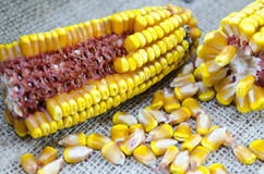 Corn cobs and corn grains on a tablecloth Royalty Free Stock Images