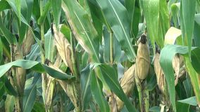 Corn cobs at the corn plants stock video footage
