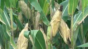Corn cobs in the cornfield stock footage