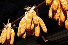 Corn cobs drying outdoors in the sun Stock Photos