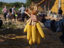 Corn cobs in farmer`s hand royalty free stock photography