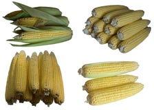 Corn cobs. Stock Image