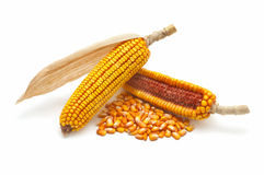 Corn cobs and grains Royalty Free Stock Image