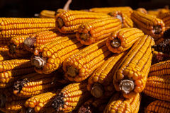 Corn cobs on ground Stock Photography
