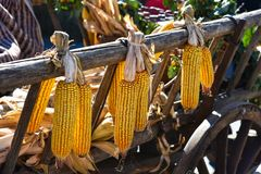 Corn cobs hanging. To dry in the sun Stock Photography