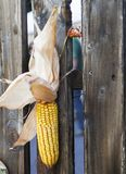Corn cobs hanging on a fence at an fair Royalty Free Stock Image