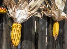 Corn cobs hanging on a fence at an fair Royalty Free Stock Photos