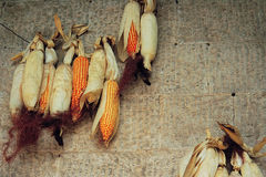 Corn cobs hanging on the stone wall Royalty Free Stock Image