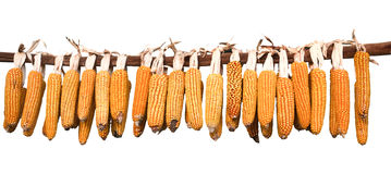 Corn Cobs Hanging To Dry. Royalty Free Stock Photos