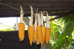 Corn cobs hung out to dry, Rodrigues Island. Royalty Free Stock Photography