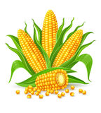 Corn cobs isolated. Corncobs with yellow corns and green leaves group, white background. Ripe corn vegetables isolated, Eps10 vector illustration Stock Image