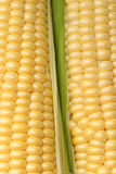 Corn cobs isolated ob white closeup vertical view Stock Photo