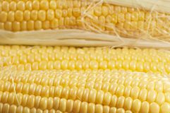 Corn cobs (maize) Royalty Free Stock Image