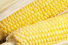 Corn cobs (maize) Stock Photography