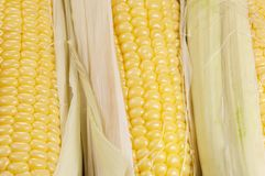 Corn cobs (maize) Royalty Free Stock Photography