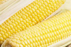 Corn cobs (maize) Royalty Free Stock Photos