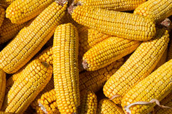 Corn cobs. Maize seed. Royalty Free Stock Images