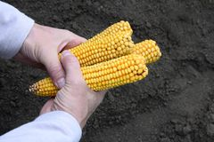 Corn cobs in male hands royalty free stock image