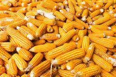 CORN COBS. A pile of corn cobs royalty free stock photography