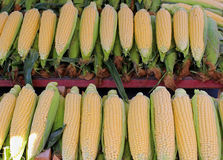 Corn cobs Royalty Free Stock Images