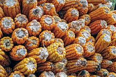 Corn cobs stacked. Corn cobs stacked, close view Stock Photography
