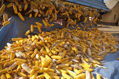 Corn cobs from tractor trailer Royalty Free Stock Images