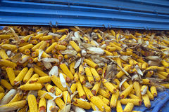 Corn cobs from tractor trailer Stock Photo