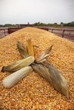 Corn cobs. On tractor trailer after successful harvest ready to be transported Stock Photography