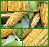 Corn collage Royalty Free Stock Image