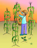 Corn collect. Farmer collecting corn at the field Royalty Free Stock Image