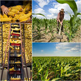 Corn collection Royalty Free Stock Photo