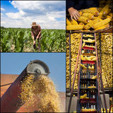 Corn collection Stock Image