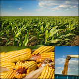 Corn collection Stock Photo