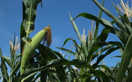 Corn. The conversion of corn to produce devises.The wait will soon be.Can be harvested stock images