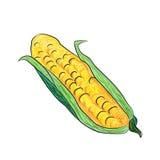 Corn, corn head hand-drawn, vector illustration Stock Images