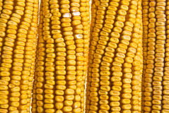 Corn Corncob Stock Photo