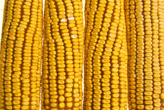 Corn Corncob Stock Image