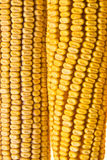 Corn Corncob Stock Photography